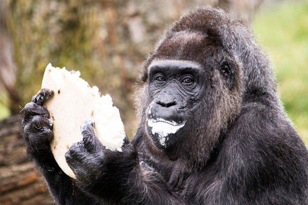 Germany: World's Oldest Gorilla Turns 61